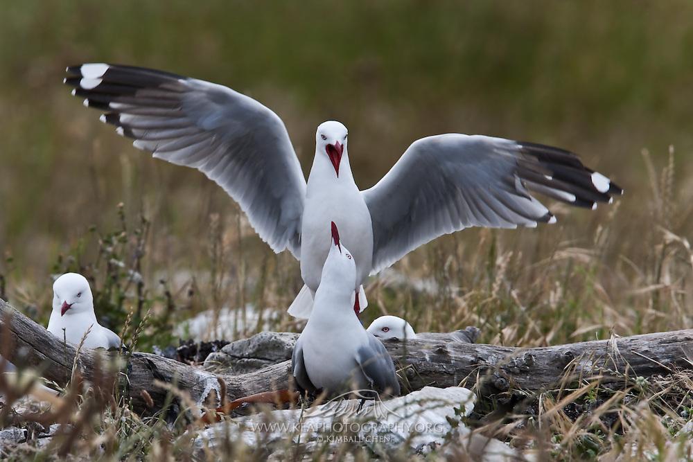 Red-billed Gull, colony, Kaikoura, New Zealand