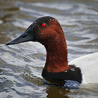 Portrait of a canvasback drake (Aythya valisineria) just after surfacing, covered in water droplets, Choptank River, Cambridge, Maryland