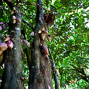 The fruit bearing life of a cocoa tree varies between 20 and 30 years. Manuel García planted these trees some 50 years ago, but is reluctant to replace them whilst they are still bearing fruit. Mazatán,  Mexico.