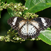 The Leopard Lacewing (Cethosia cyane) is a species of heliconiine butterfly found in Asia.