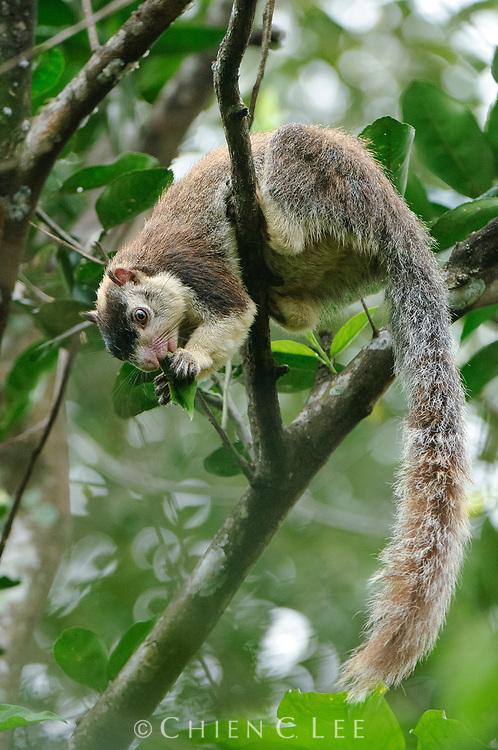 Sri Lanka Giant Squirrel (Ratufa macroura dandolena). Central Province, Sri Lanka.