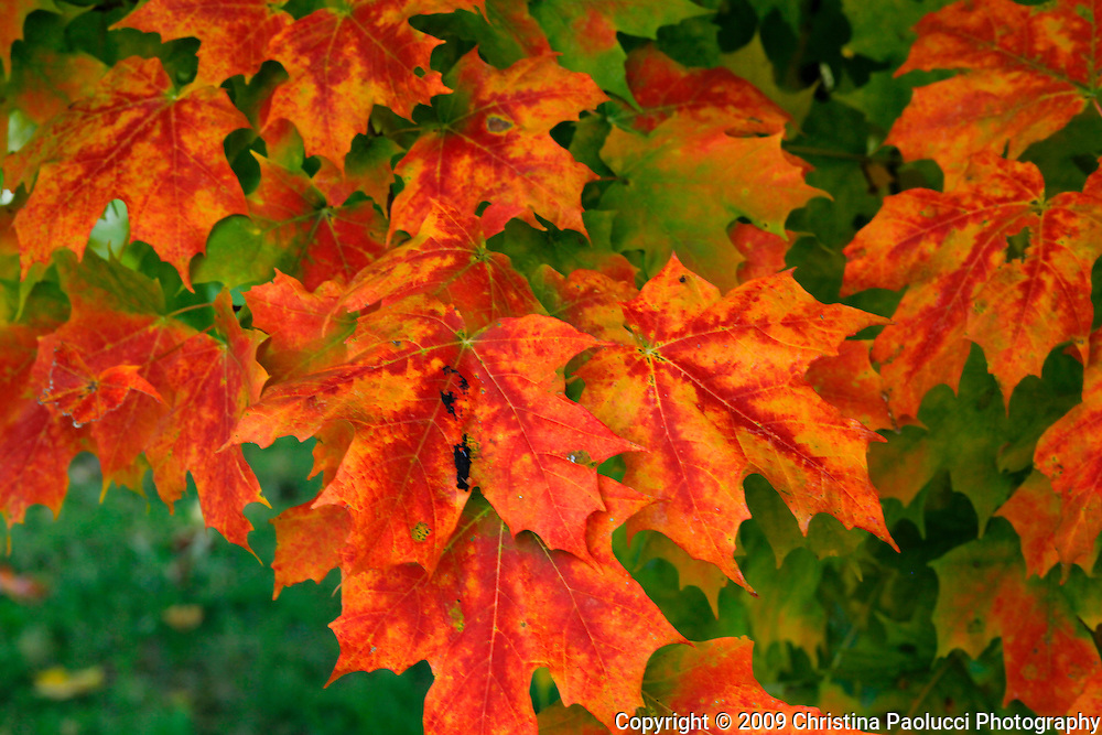 Fall colors in Erlanger, Kentucky. (Christina Paolucci, photogrpaher).