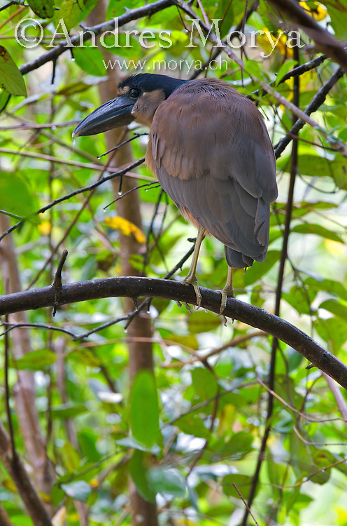 Boat-billed Heron, Cochlearius cochlearius, Costa Rica, colloquially known as the Boatbill - is an atypical member of the heron family. This species feeds on fish,mice,water snakes,eggs, crustaceans, insects and small amphibians. Its calls include a deep croak and a high-pitched pee-pee-pee. Image by Andres Morya