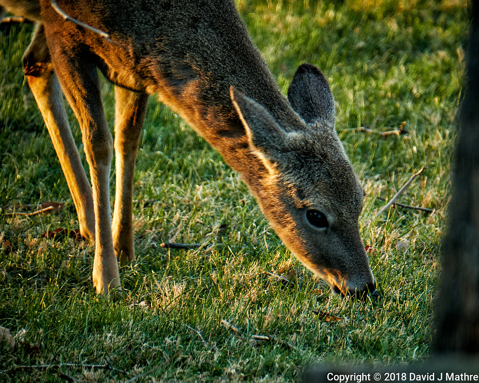 Young Deer Eating Grass in the Late Afternoon Sun. Image taken with a Fuji X-T2 camera and 100-400 mm OIS lens (ISO 500, 400 mm, f/5.6, 1/60 sec).