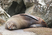 New Zealand Fur Seal (Arctocephalus forsteri) - New Zealand