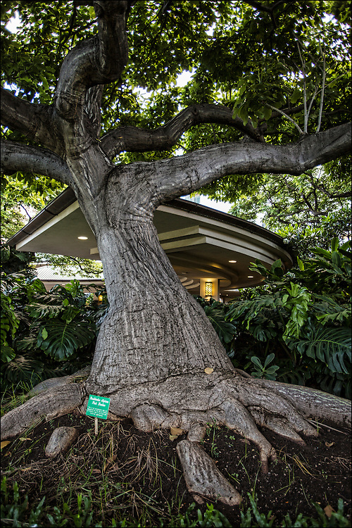Pink Bombax tree at the entrance to Queens Medical Center in Honolulu, HI. ©PF Bentley