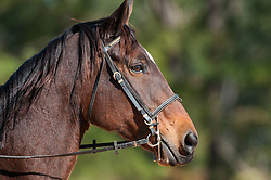 November 11, 2016 - Raeford, North Carolina, US - Nov. 12, 2016 - Raeford, North Carolina, USA - Selected stock equestrian images from the 2016 War Horse Event Series Championships, Nov. 12 at Carolina Horse Park in Raeford, N.C. Founded in 2013 as the Cabin Branch Event Series, the War Horse Event Series consists of five horse trials and combined tests and attracts riders and their horses from across the eastern United States. (Credit Image: © Timothy L. Hale via ZUMA Wire)