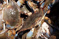 07 May 2010. Westwego, Louisiana. <br /> Perhaps the last of local fresh blue crabs to arrive at the Westwego Fish market just outside New Orleans. All seafood prices have risen 25% in the past 7 days alone as stocks run low thanks to closed fishing grounds affected by oil pollution. Today was the opening day of the inshore shrimp season. The season was closed before it could open thanks to BP's disastrous environmental catastrophe out in the Gulf of Mexico. Approximately 210,000 barrels of oil per day is leaking uncontrollably into the Gulf because of the explosion and collapse of the Deepwater Horizon drilling platform 46 miles out to sea. The closure of fishing grounds both east and west of the Mississippi river outflow is crippling thousands of local fishermen and all affiliated businesses and families who rely on the seafood industry. None of the shrimp or other seafood offered at the market are fresh catch from today. Everything has been through the IQF (Instant Quick Freeze) process and is seafood caught earlier in the season and brought from storage freezers in Venice and Grand Isle. Stocks are running low. With no new catches, the market will be forced to rely on farmed shrimp shipped in from Texas and Georgia. Local traders refuse to stock Chinese import fish raised with growth hormones, pesticides, fungicides and other contaminants widely found in Chinese farm raised seafood. Many fear losing their jobs and everything they own as a result of BP's Gulf Coast environmental disaster.<br /> Photo credit; Charlie Varley/varleypix.com