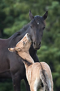 New colt, Rio, gives his beautiful half-sister, Petite Colour, a love bite. Petite Colour and all the other members of Garay's band are extremely patient with the newest member of the family who does his best to irritate his siblings...to no avail.