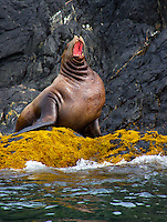 Steller sea lion (Eumetopias jubatus) also known as the northern sea lion and Steller's sea lion, Kodiak, Alaska