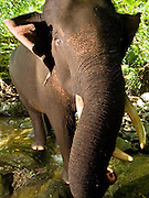 Playful view of a male Sumatran elephant (Elephas maximus sumatranus) in its native forest habitat.