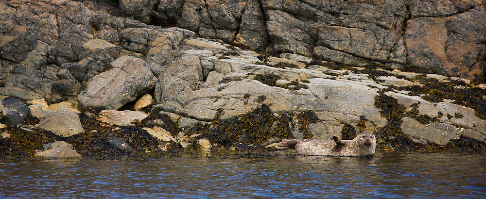 Foca común - Harbor Seal (Phoca vitulina). Great Bernera. Lewis island. Outer Hebrides. Scotland, UK