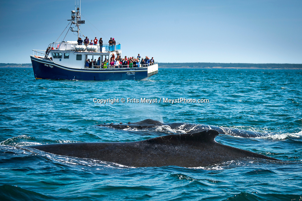 """Freeport, Digby Neck, Nova Scotia, Canada, August 2014. A humpback whale and her calf laze about during a Whale watching tour in the Bay of Fundy with Freeport Whale & seabird tours. Nova Scotia was one of the original four provinces that became part of Canada in 1867.  """"Nova Scotia"""" is Latin for """"New Scotland"""", and Scottish settlers brought culture and traditions that continue to this day. Photo by Frits Meyst / MeystPhoto.com"""