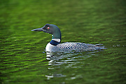 Great northern or common loon Gavia immer  on Cassels Lake<br /> Temagami<br /> Ontario<br /> Canada