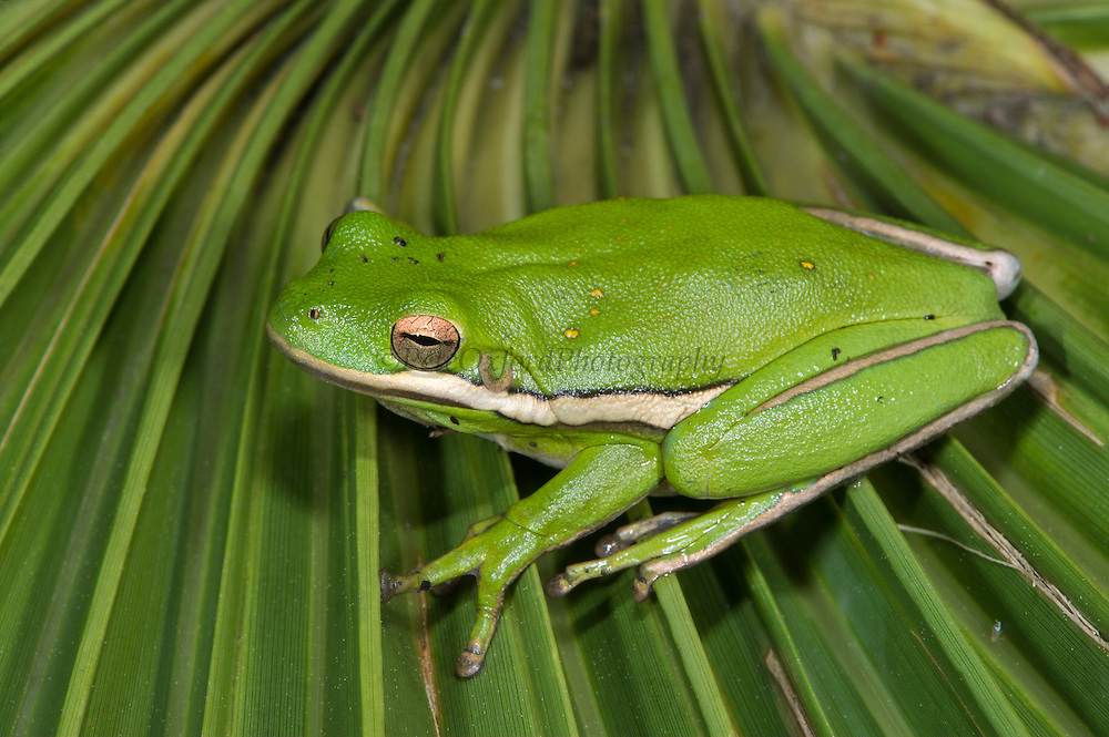 Green Tree Frog (Hyla cinerea)<br /> Little St Simon's Island, Barrier Islands, Georgia<br /> USA<br /> RANGE:  Near water in southeastern United States.