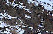 LADAKH, INDIA: Adult male snow leopard (unica unica) sits on rocky slope in Hemis National Park.