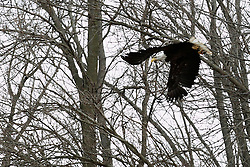 26 January 2015:   Bald Eagles along the Mackinaw River in the Northern part of McLean County Illinois
