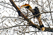 Great Hornbill (Buceros bicornis) feeding on figs in Kaziranga National Park, Assam, north-east India.