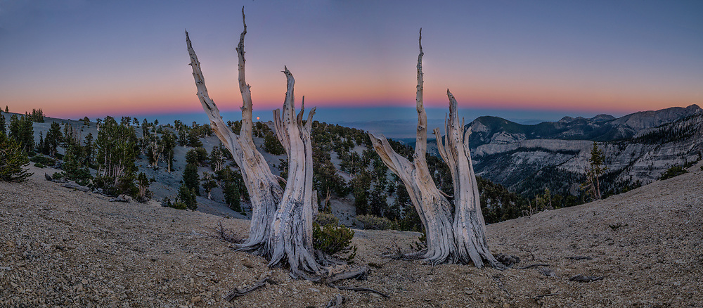 Mt. Washington Bristlecone Pine Grove, Great Basin Natiional Park, Nevada