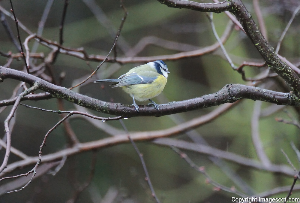 Blue tit, winter