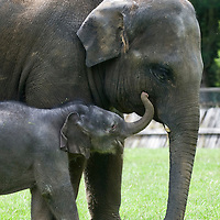 .Dunstable England July 28th  Photocall for the new born elephant at Whipsnade Zoo ZSL. The baby elephant not yet named  was born on Thursday the 23rd and now weight around 120Kg....***Standard Licence  Fee's Apply To All Image Use***.Marco Secchi /Xianpix. tel +44 (0) 845 050 6211. e-mail ms@msecchi.com or sales@xianpix.com.www.marcosecchi.com