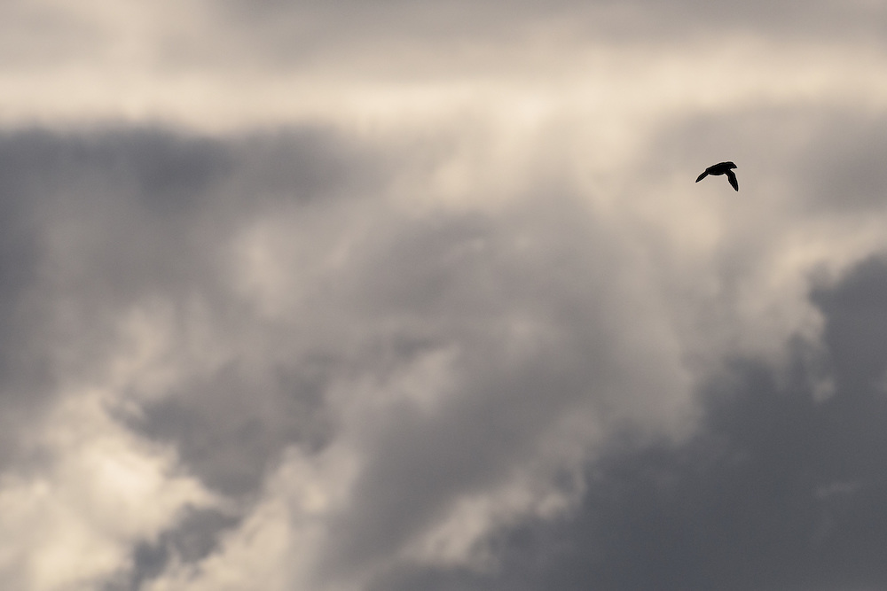 Puffin against looming sky, Lunga, Scotland