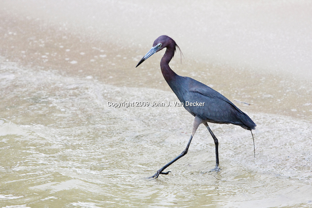Little Blue Heron walking in the surf