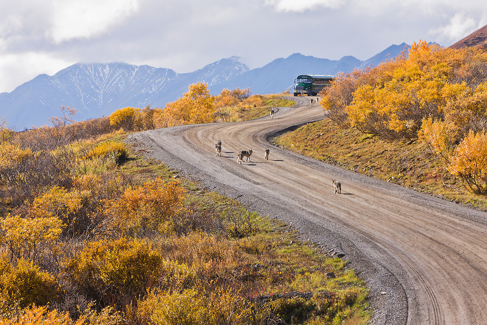Nine wolves (Canis lupis), part of the Granite Creek Pack, walk along the Denali Park Road toward a stopped camper bus with the Alaska Range in the background in Denali National Park in Southcentral Alaska. Fall. Afternoon.