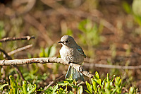 Female Mountain Bluebird has a pale gray body with blue on its tail and the edges of its wings.