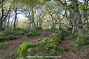Ruins of a stone wall at hide amongst the oak trees in the woods of Padley Gorge, Peak District, UK