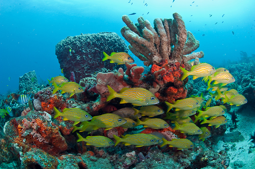 French Grunts, Haemulon flavolineatum, school on a coral reef in Palm Beach County, Florida, United States.