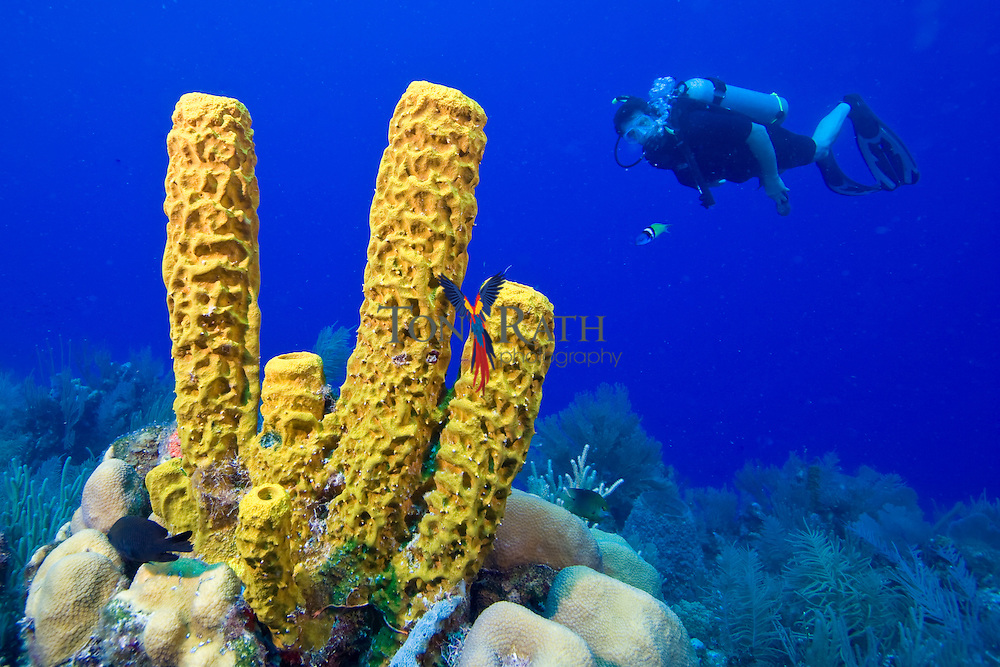 Lone SCUBA diver looking at Yellow tube sponge (Aplysina fistularis) at South Water Caye on the Belize Barrier Reef, Belize