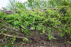 Layed hawthorn hedge. Crataegus momogyna