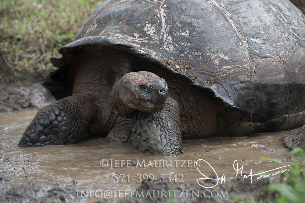 A Galapagos giant tortoise in mud in the highlands of Santa Cruz island.