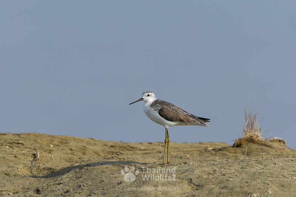 The marsh sandpiper (Tringa stagnatilis) is a small wader. It resembles a small elegant greenshank, with a long fine bill and very long yellowish legs.