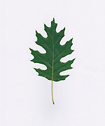 single Oak leaf on white background