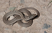Western Terrestrial Garter Snake; Thamnophis elegans; CO, Garfield County, High Lonesome Ranch