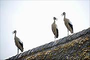 Nederland, Ubbergen, 26-7-2016Zomer in de Ooijpolder.Drie ooievaars bij logement Oortjeshekken in de Ooijpolder hebben het zo warm dat ze met geopende snavel op een dak zitten . Ze lijken met elkaar te ' praten 'FOTO: FLIP FRANSSEN