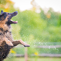 Digger the German Shepherd, GSD Highlights of images of dogs in the outdoors, by specialist dog photographer Rhian White.