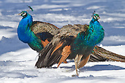 Peacock, snow, New Zealand