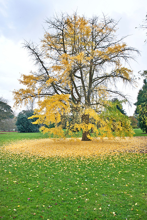 Ginkgo biloba (maidenhair tree) in autumn colour at RBG Kew