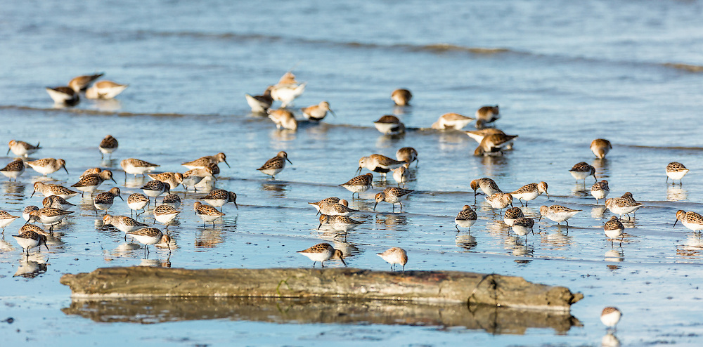 Western Sandpipers (Calidris mauri) and Dunlins (Calidris alpina) forgaging in Mud Bay along the Homer Spit in Southcentral Alaska during their spring migration to the arctic. Evening.