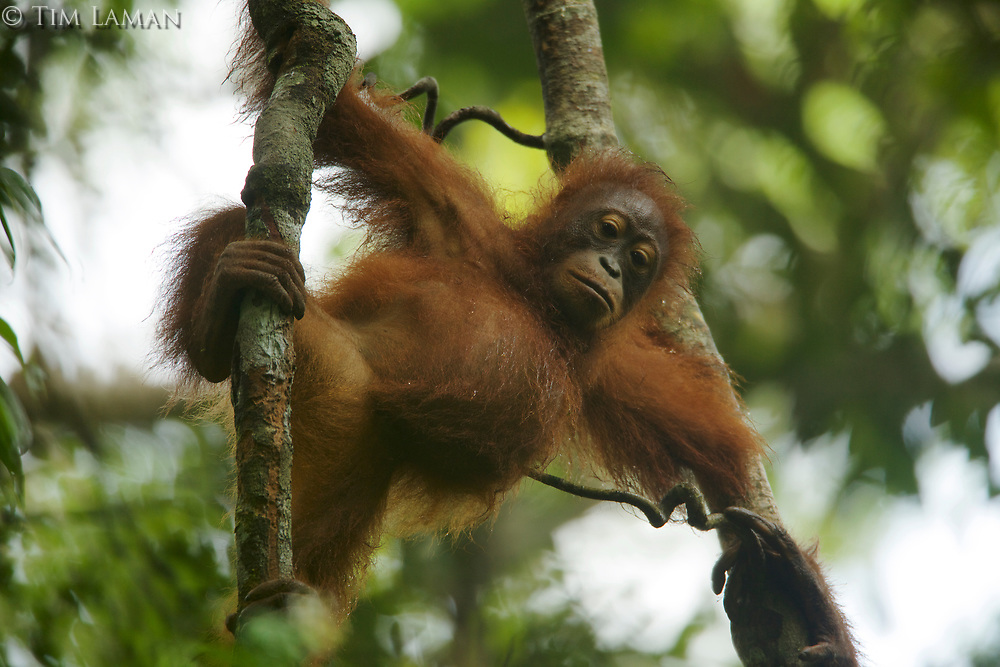 Juvenile female Bornean Orangutan (Pongo pygmaeus)<br />