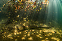 """A male green anaconda (Eunectes murinus) underwater in a river system in Bonito, Mato Grosso Sul, Brazil. Photographed while filming Tales by Light, Season 2, Episode 3, """"Misunderstood Predators"""", for Netflix and National Geographic Australia. August, 2016."""