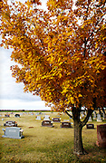 Golden autumn leaves on a tree watches over the headstones at a cemetery northwest of Guthrie, OK