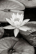 I photographed this waterlily in my backyard pond, at Point Harbor North Carolina.