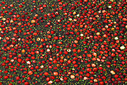 cranberries at harvest