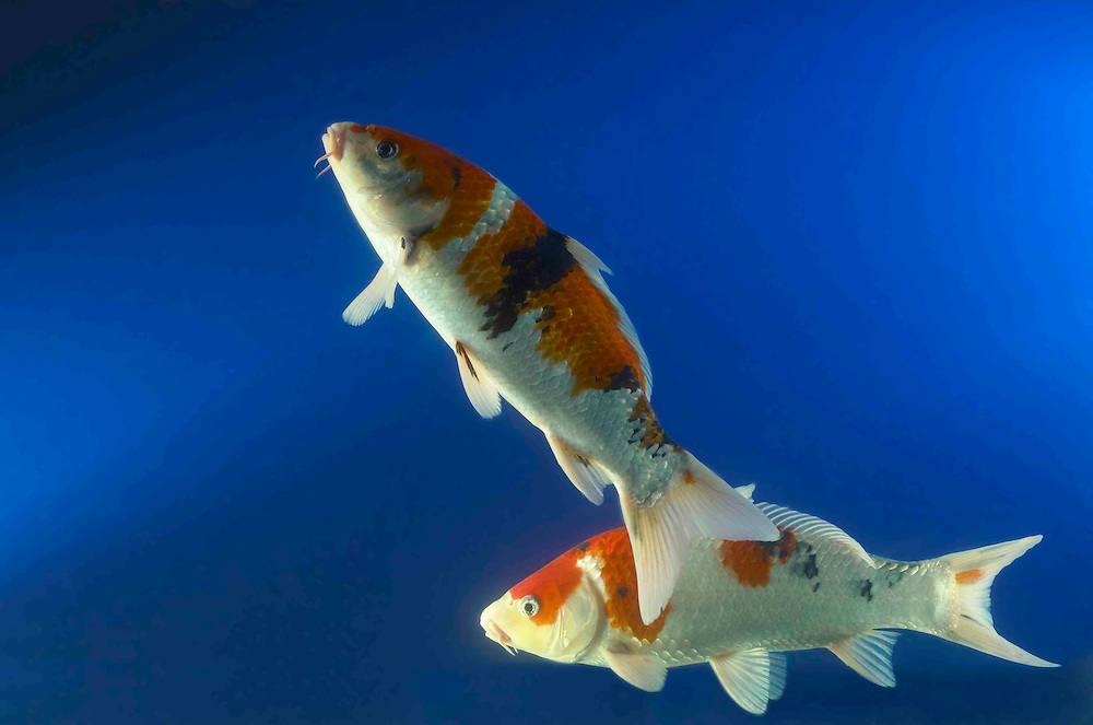 Koi fish tropical oriental fish tolbert photo for Wild koi fish