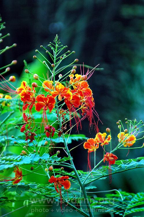 Ghana, Adaklu, Titikope, 2007. Tropical flowers abound near the fertile river banks of the Volta.