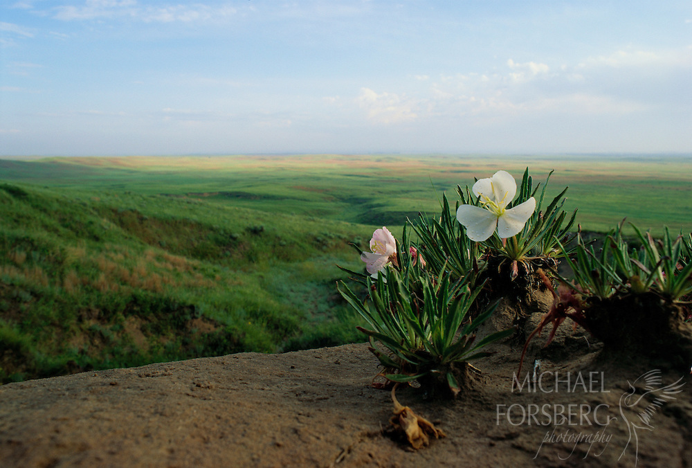Morrill County, Nebraska Panhandle A cluster of Evening Primrose overlooks the Oregon Trail from Courthouse and Jail Rocks in the Nebraska Panhandle. One of the most beautiful wildflowers on the prairie, Evening Primrose can be found growing in full sun in dry open soils, rocky hillsides, meadows and old fields. This hardy plant grows in a sprawling manner and produces vivid blooms measuring over five inches across. The flowers open in the evening and close during the day and their strong scent attracts pollinating moths. A staple food for many Native American tribes, the entire plant, including roots, leaves, blooms, and seed pods, is edible and is often used for medicinal purposes.